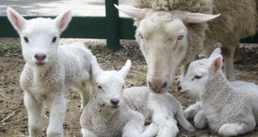 Alimentación para ganado ovino y caprino