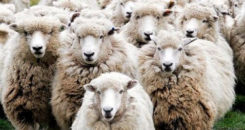 Alimentación para ganado ovino de engorde