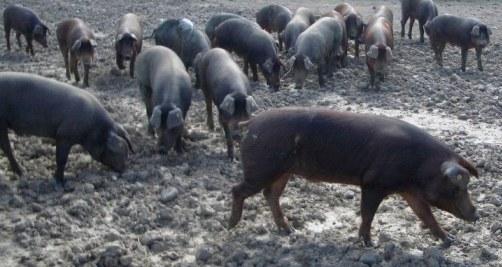 Alimentación para ganado porcino intensivo