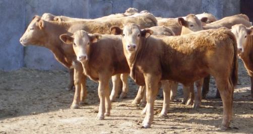 Alimentación para ganado vacuno de engorde