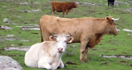 Alimentación para ganado vacuno extensivo